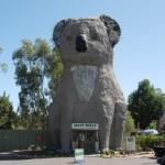 magazin suveniruri in forma de urs koala australia