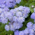 Ageratum – flori anuale de vara in gradina