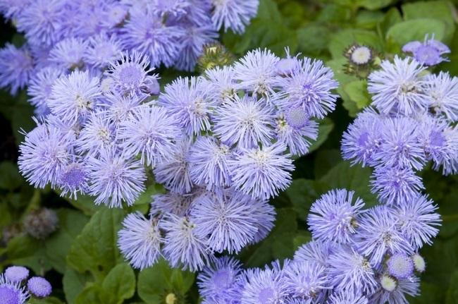 Ageratum sau Pufuleti flori anuale de gradina