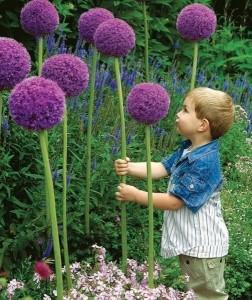 Allium ceapa decorativa pentru gradina cu flori