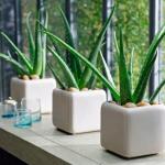 Aloe – plantare, inmultire si ingrijire