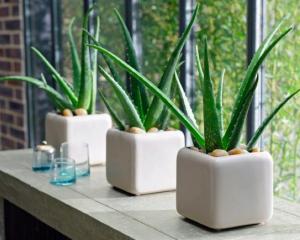 Aloe planta decorativa de apartament
