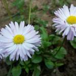 Banutei, flori perene de vara
