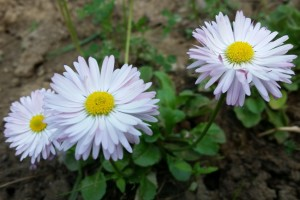 Banutei Bellis perennis flori perene de gradina