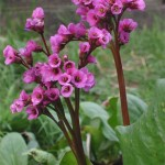 Bergenia, floare decorativa de gradina