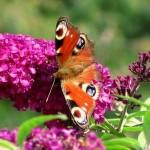 Liliacul de vara (Buddleja davidii) sau arbustul fluturilor