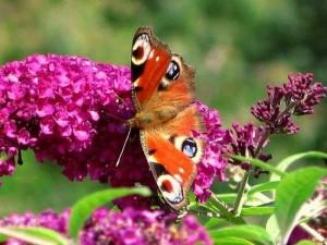 Buddleja Davidii mov arbustul ce atrage fluturii