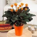 Calathea crocata, planta de apartament – ingrijire si inmultire
