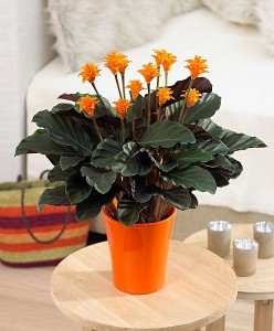 Calathea crocata planta de apartament cu flori portocalii