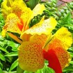 Canna – floare de top pentru gradini elegante