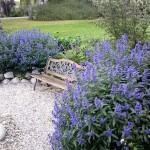 Caryopteris, flori cu parfum de toamna