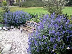 Caryopteris heavenly blue arbust ornamental cu flori albastre