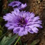 Catananche caerulea, Petala sau Albastreaua, floare perena de gradina