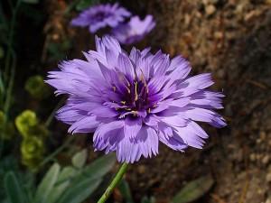 Catananche caerulea Petala sau Albastrea floare perena de gradina