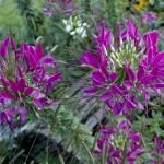 Cleome spinosa – floare anuala deosebita pentru gradina