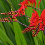 Crocosmia, floare perena de gradina