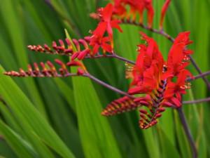 Crocosmia Lucifer planta perena cu flori rosii