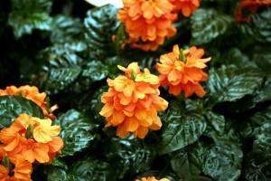 Crossandra planta de apartament cu flori portocalii