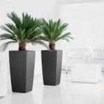 Cycas, planta de apartament superba
