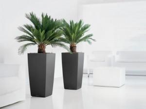 Cycas planta de origine tropicala de apartament