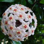 Floarea de ceara – o planta de apartament care iese din tipare
