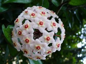 Floarea de ceara sau Hoya Carnosa planta de apartament