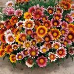 Gazania, o floare in culorile soarelui