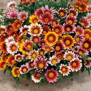 Gazania floare de gradina si de ghiveci