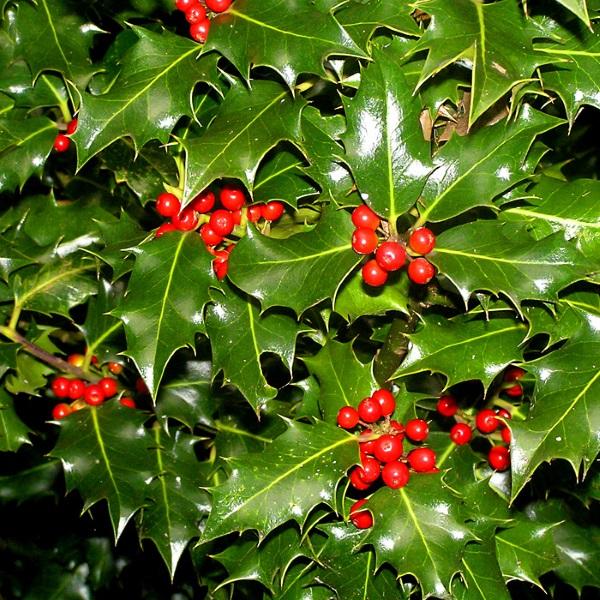 Ilex Aquifolium Laur arbust ornamental de gradina