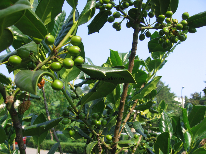 Ilex si Rustifina, doi arbusti ornamentali deosebiti