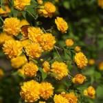 Kerria – arbust ornamental de gradina