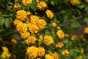 Kerria Japonica arbust ornamental cu flori galbene