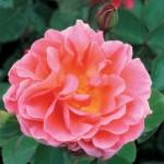 Trandafir Lilian Austin cu flori rosu-somon