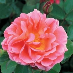 Lilian Austin trandafir cu flori rosu somon