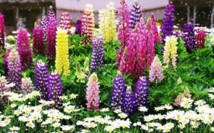 Lupin floare perena de gradina in diverse culori