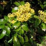 Mahonia Aquifolium – arbust ornamental tot timpul verde