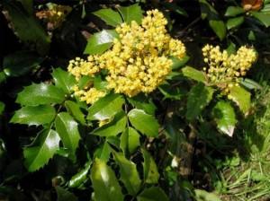 Mahonia Aquifolium arbust ornamental mereu verde
