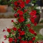 Mandevilla, floare perena spectaculoasa