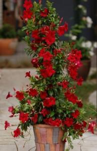 Mandevilla sau Iasomia de apartament planta decortiva cu flori