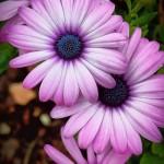 Arctotis, Margareta africana, floare anuala de gradina
