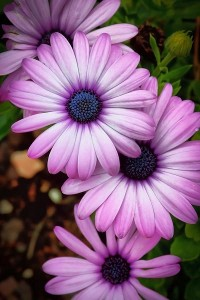 Margareta africana floare anuala de gradina