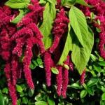 Motul curcanului (Amaranthus) – planta decorativa de gradina si balcon