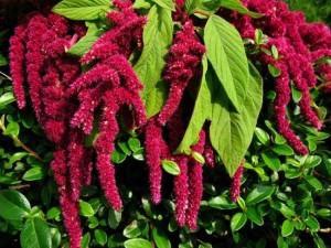 Motul curcanului sau Amaranthus planta gradina sau balcon