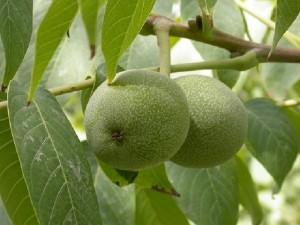 Nucul pom fructifer plantare si ingrijire