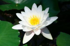 Nufar cu flori albe planta acvatica perena