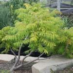 Otetarul rosu sau Rhus Typhina – arbust ornamental de top
