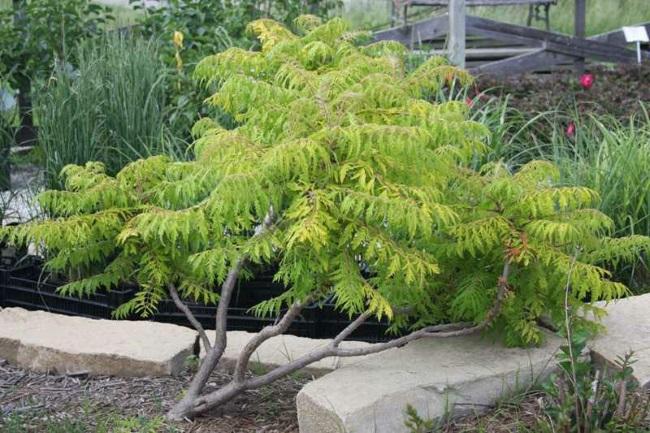 Otetarul rosu sau Rhus Typhina arbust ornamental