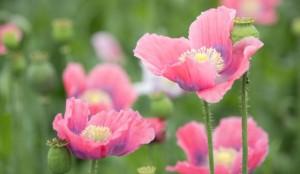 Papaver somniferum cu flori roz Mac de gradina