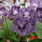 Streptocarpus, planta de apartament decorativa prin flori