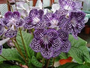 Streptocarp planta decorativa cu flori de apartament